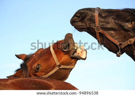 Brown horse trying to bite black horse - stock photo