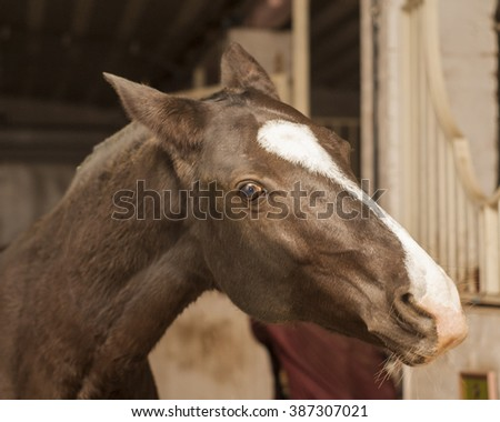 brown horse with a big white blaze on the head is in stable - stock photo