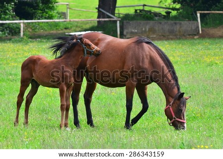 Brown Horse with its foal in a green field - stock photo