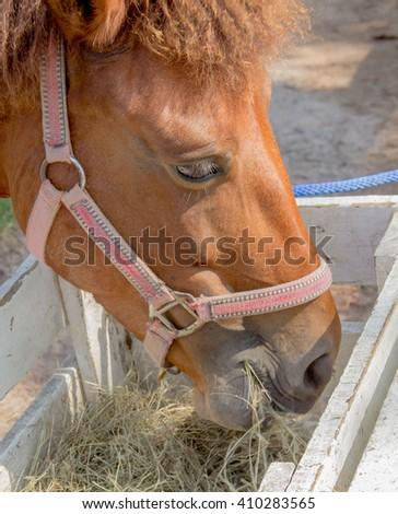 brown horses eating hay - stock photo