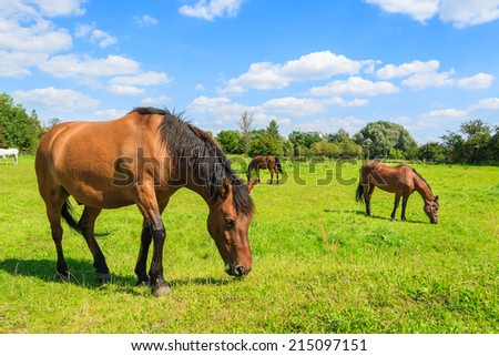 Brown horses grazing on green pasture in rural area of Krakow city, Poland