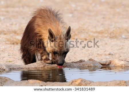 Brown hyaena drinking