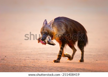 Brown hyena (Hyaena brunnea) with prey (baby bat-eared fox) in mouth  - Kalahari desert (South Africa) - stock photo