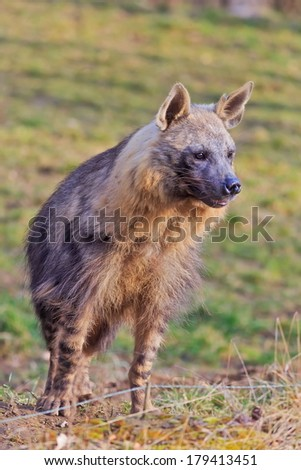 brown hyena is looking for prey - stock photo