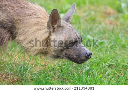brown hyena is sniffing prey - stock photo