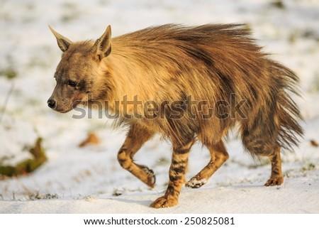 brown hyena portrait - stock photo