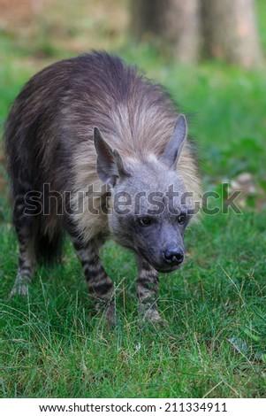 brown hyena the creeps - stock photo