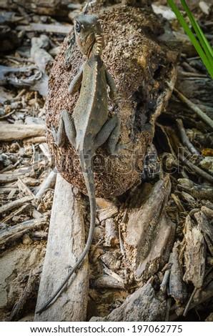 Brown Iguana - stock photo