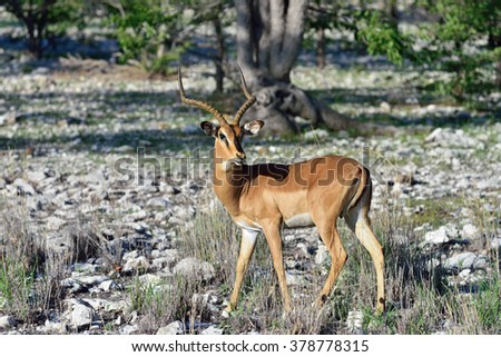 Brown impalas (Aepyceros melampus) male with long horns in Etosha National park, Namibia. Large antelope. Wild nature, Africa - stock photo