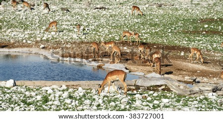 Brown impalas (Aepyceros melampus) near waterhole at sunrise. Etosha National park, Namibia. Large antelope. Wild nature, Africa