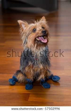 Brown indoor house dog on wood floor wearing boots - stock photo