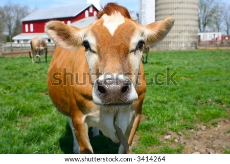 Brown jersey cow posing for her shot - stock photo