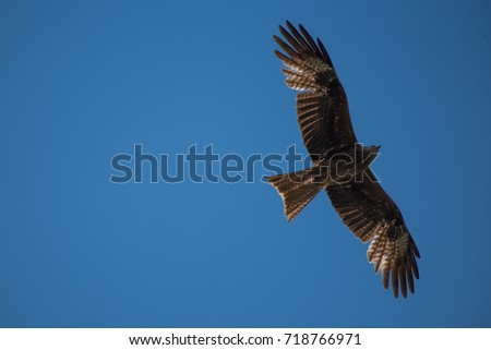 Brown kite bird soaring against the blue sky