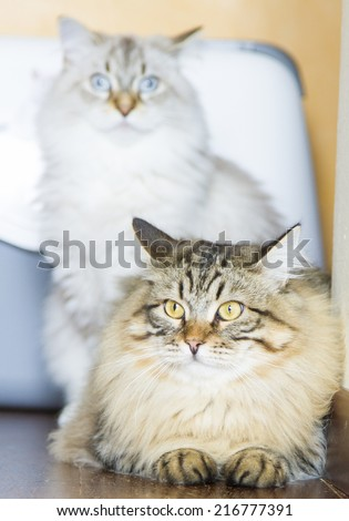 brown kitten of siberian breed, male at ten months - stock photo
