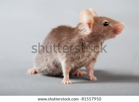 brown laboratory mouse isolated on grey background - stock photo