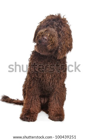 Brown Labradoodle in front of a white background