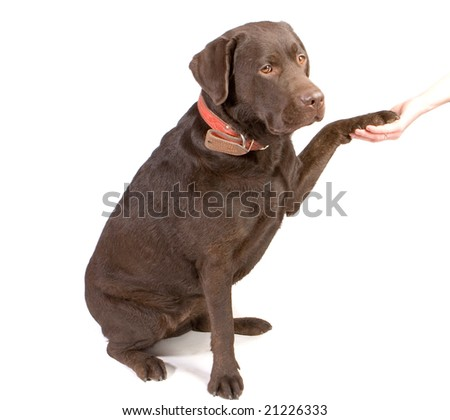 Brown labrador giving a paw to some person