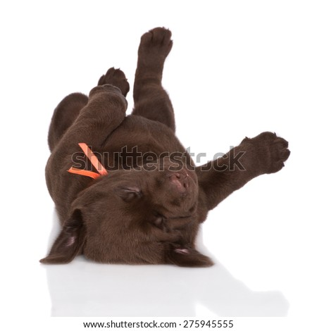 brown labrador puppy lying upside down - stock photo