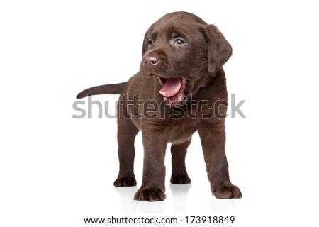 Brown Labrador puppy on white background - stock photo