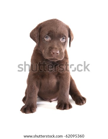 Brown labrador puppy on white ground