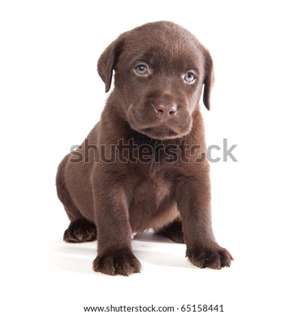 Brown labrador puppy on white ground - stock photo