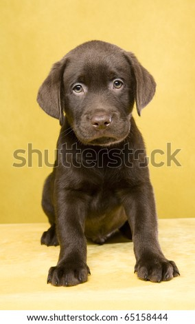 Brown labrador puppy on yellow ground
