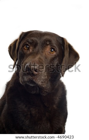 brown Labrador Retriever
