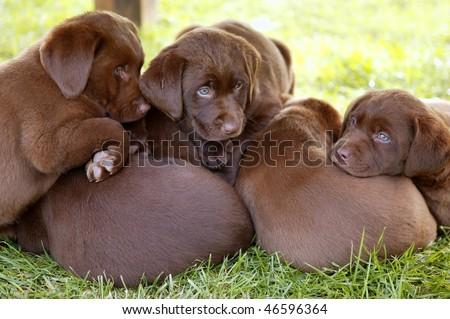 brown Labrador Retriever dog litter of pups - stock photo