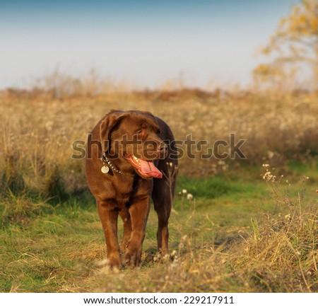 brown labrador retriever in the autumn season - stock photo