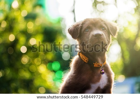 Brown labrador retriever puppy dog look up at sunset with bokeh background