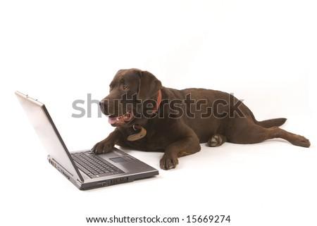 Brown labrador working on laptop on white ground - stock photo