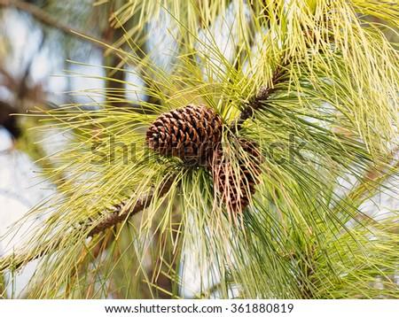 Brown larch cones - stock photo