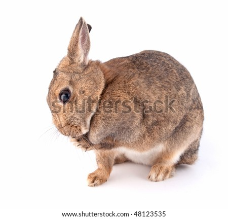 Brown and white lionhead rabbit - photo#55