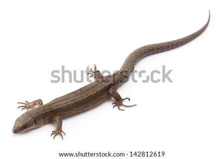 Brown lizard isolated on a white background