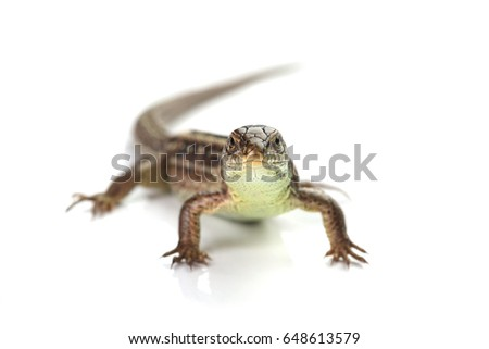 Brown lizard isolated on white background
