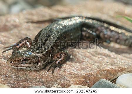 brown lizard on a rock close - stock photo