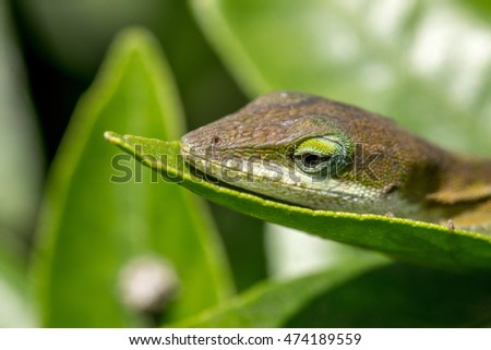 brown lizard with green eyes closeup