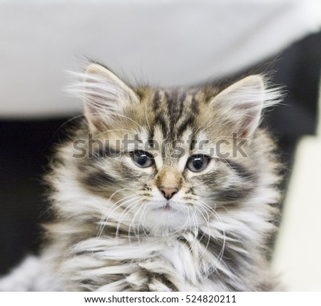 brown long haired kitten of siberian breed in the house