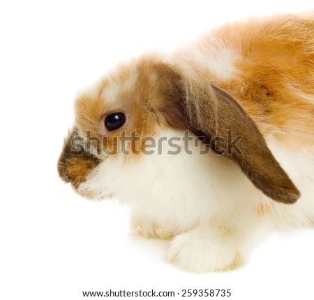 Brown lop-eared rabbit isolated on white - stock photo