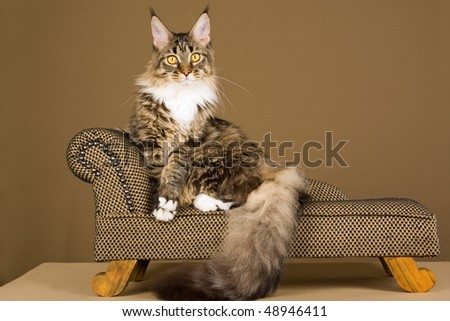 Brown lynx Maine Coon on miniature chaise couch on bronze background - stock photo