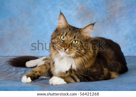 Brown Maine Cat on blue background - stock photo