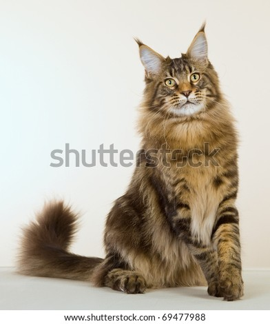 Brown Maine Coon cat on off white background - stock photo