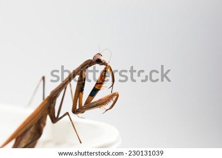 brown mantis or praying mantis close-up shot in studio - stock photo