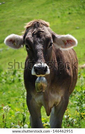 Brown Milk Cow in the Mountains - stock photo