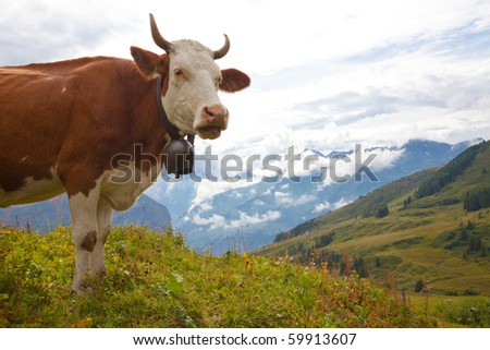 Brown milk cow overlooking beautiful vista on meadow in the European Alps - stock photo