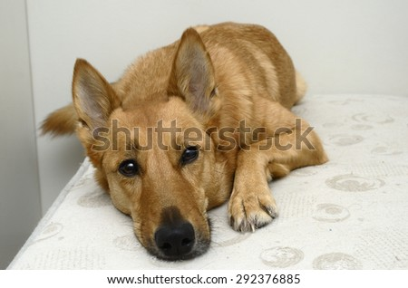 brown mongrel dog lying on a bed, horizontal - stock photo