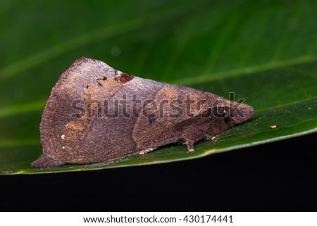 Brown Moth , Moth of Borneo - stock photo