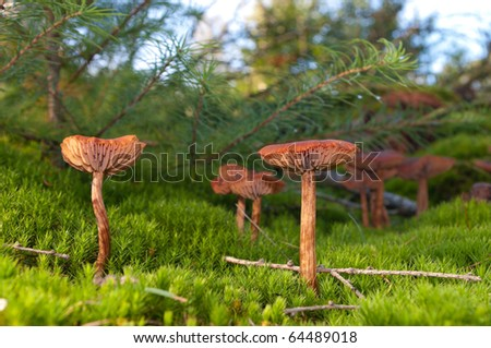 brown mushrooms in a bed of moss - stock photo