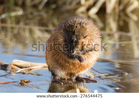 brown muskrat near lake, nature series - stock photo