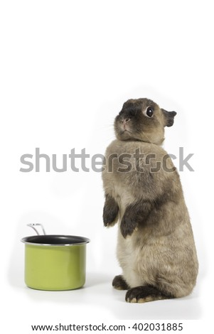 brown Netherlands dwarf rabbit with green pan - stock photo